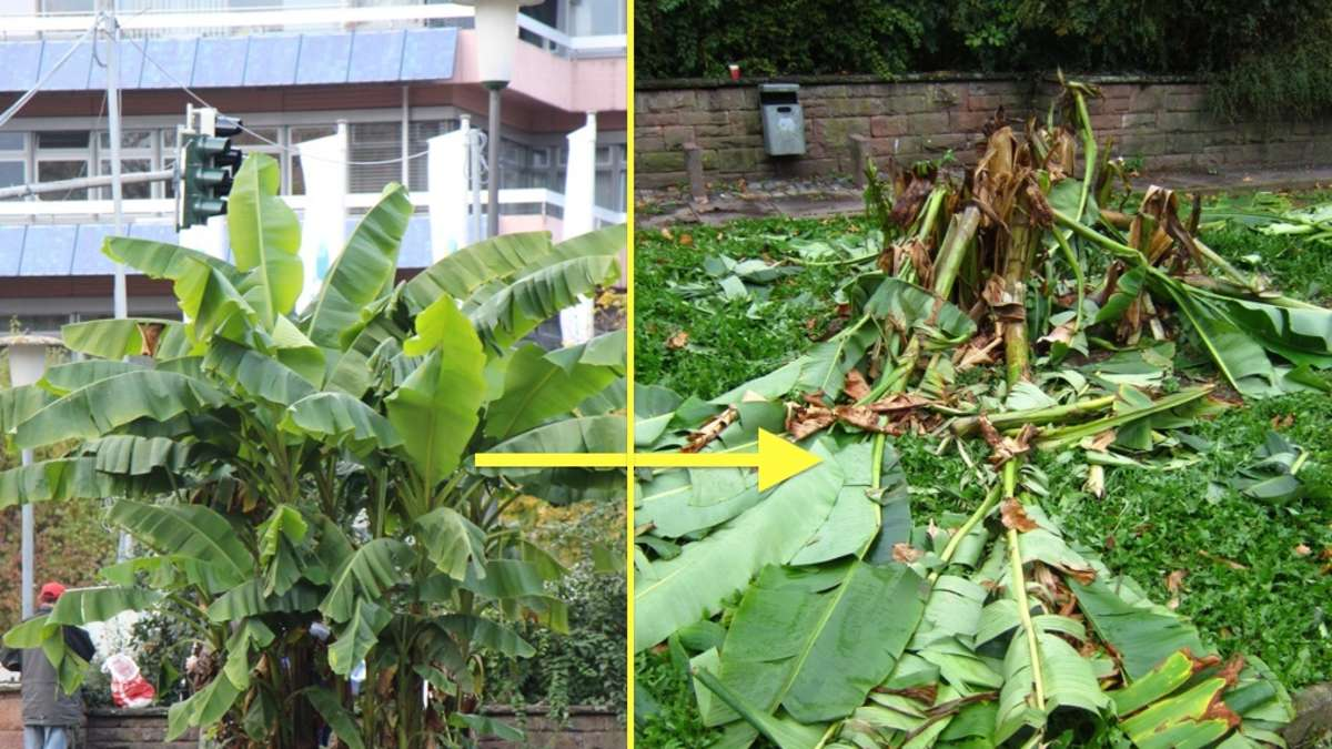heidelberg bergheim fotos vandalismus vom bananenbaum. Black Bedroom Furniture Sets. Home Design Ideas