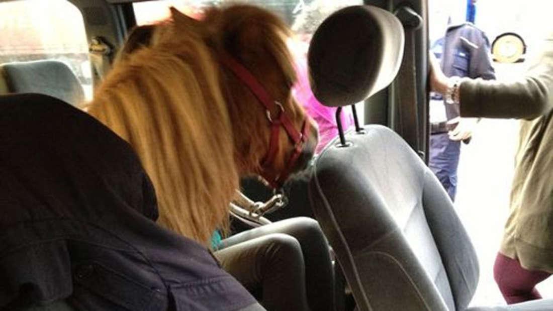 Pony auf dem Rücksitz: Die Polizei Koblenz stoppte den ungewöhnlichen Transport