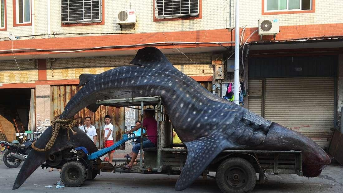 """Ein toter Walhai wird auf einem Traktorzueinem Fischgroßmarkt in Xiangzhi (China) transportiert. Ein einheimischer Fischerhatte den Walhai aus dem Meer gezogen.Anfangs war der Mann überzeugt, dass ihmein """"Seeungeheuer"""" ins Netz gegangen wäre."""