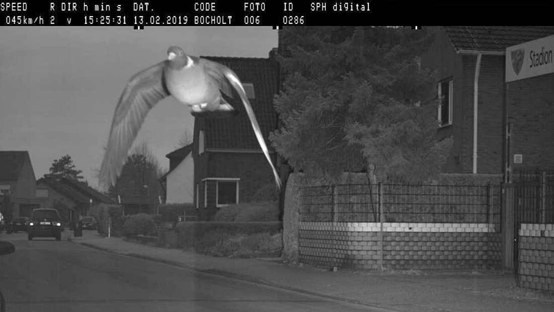 Die Raser-Taube hat in der Stadt Bocholt die Radarfalle ausgelöst. Die 25 Euro Verwarnungsgeld wird sie für die Geschwindigkeitsüberschreitung von 15 km/h jedoch nicht bezahlen können.