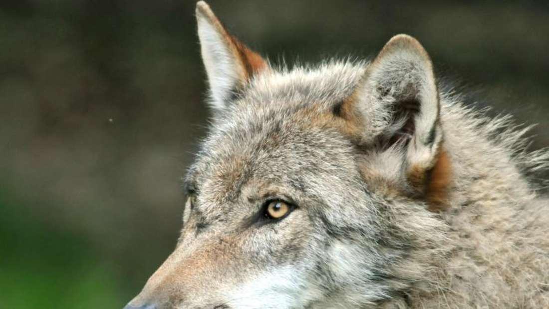 Die Rückkehr der Wölfe nach Deutschland sorgt nicht überall für Begeisterung. Foto: Uwe Zucchi/Archiv