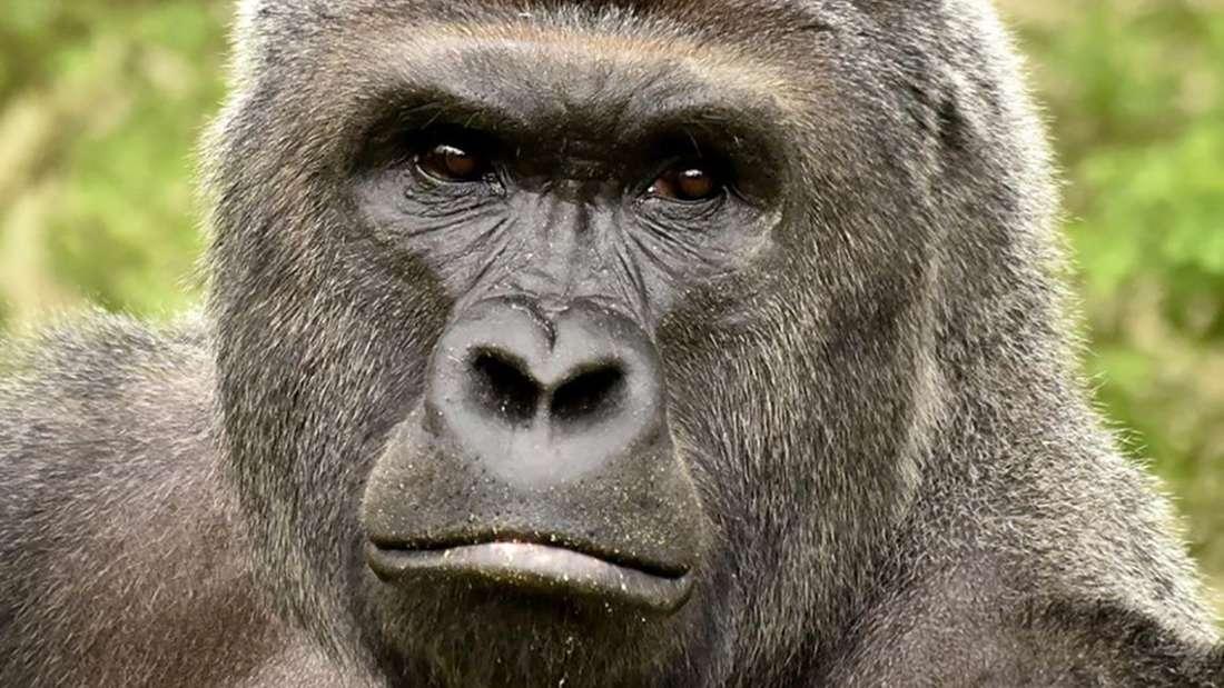 Der 200 Kilogramm schwere Affe wurde 17 Jahre alt.