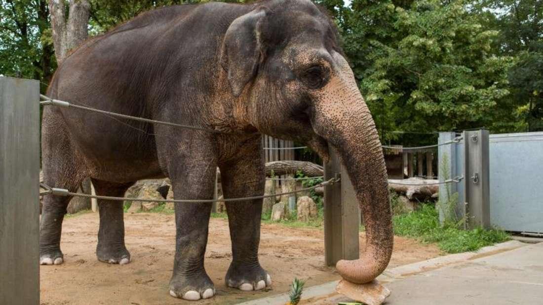 Die Elefantendame Pama feiert ihren 50. Geburtstag mit einem Geburtstagskuchen. Foto: Silas Stein