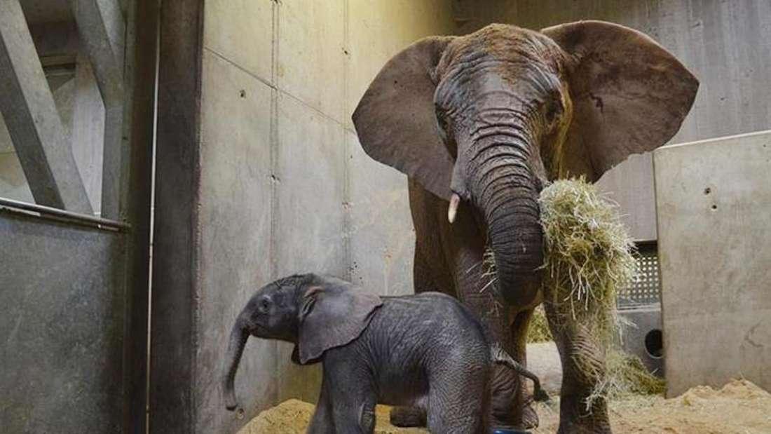 Die Elefantenkuh Panya und ihr kleiner Junge. Foto: Bergzoo Halle