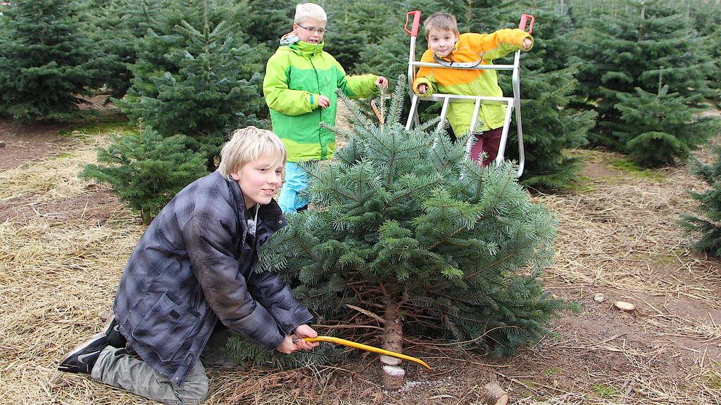 Weihnachtsbaum selber schlagen heidelberg