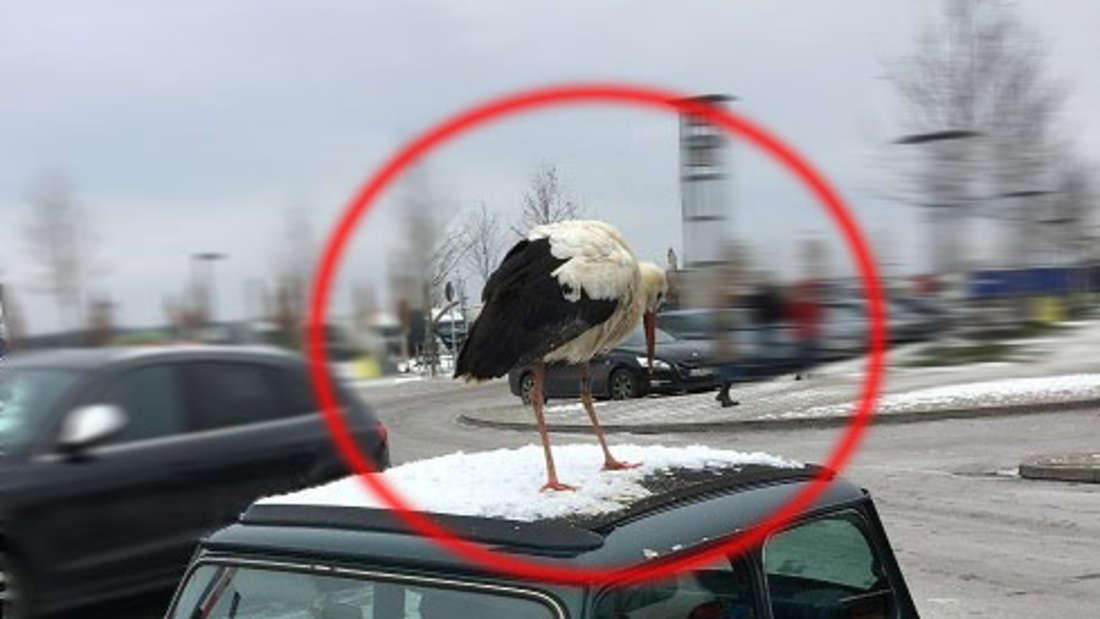 Dieser Storch macht auf dem Autodach eines parkenden Minis an der Tank- und Rastanlage Baden-Baden einen Zwischenstopp.