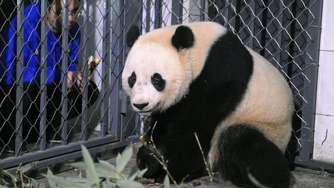Riesenpanda Bao Bao in China gelandet