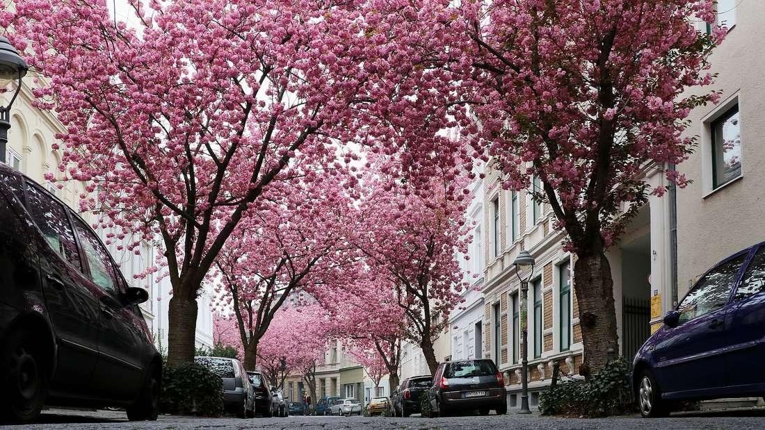 Zur Kirschblütenzeit locken die pinken Baumkronen in der Heerstraße in Bonn nicht nur Einheimische und Fotografen, sondern auch Urlauber aus aller Welt.