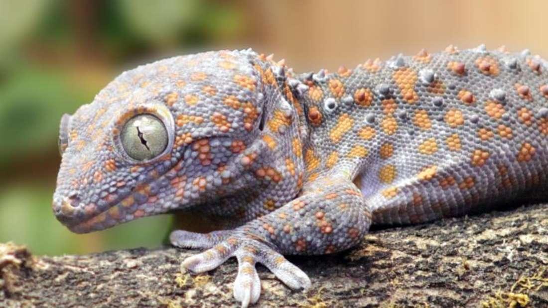 Der Tokeh Gecko passt die Dauer seiner Rufe dem Lärm seiner Umgebung an. Foto: Frank Lehmann/Max-Planck-Institut