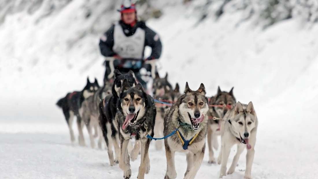 Hundeschlittenfahren in Kanada.