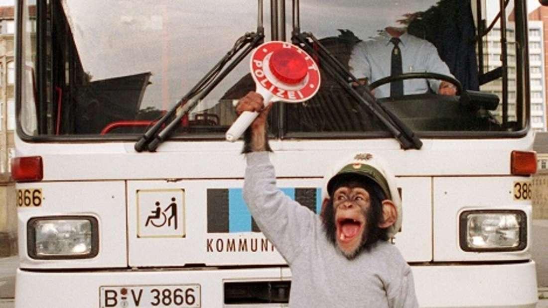 Hier stoppte ein Affe einen Bus - in diesem Fall fuhr ein Gefährte ihn sogar selbst.