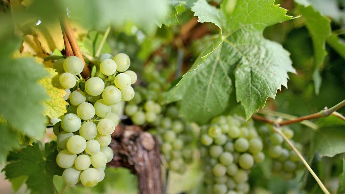 12 Weintrauben essen, zu jedem Glockenschlag eine, das ist in Spanien Brauch
