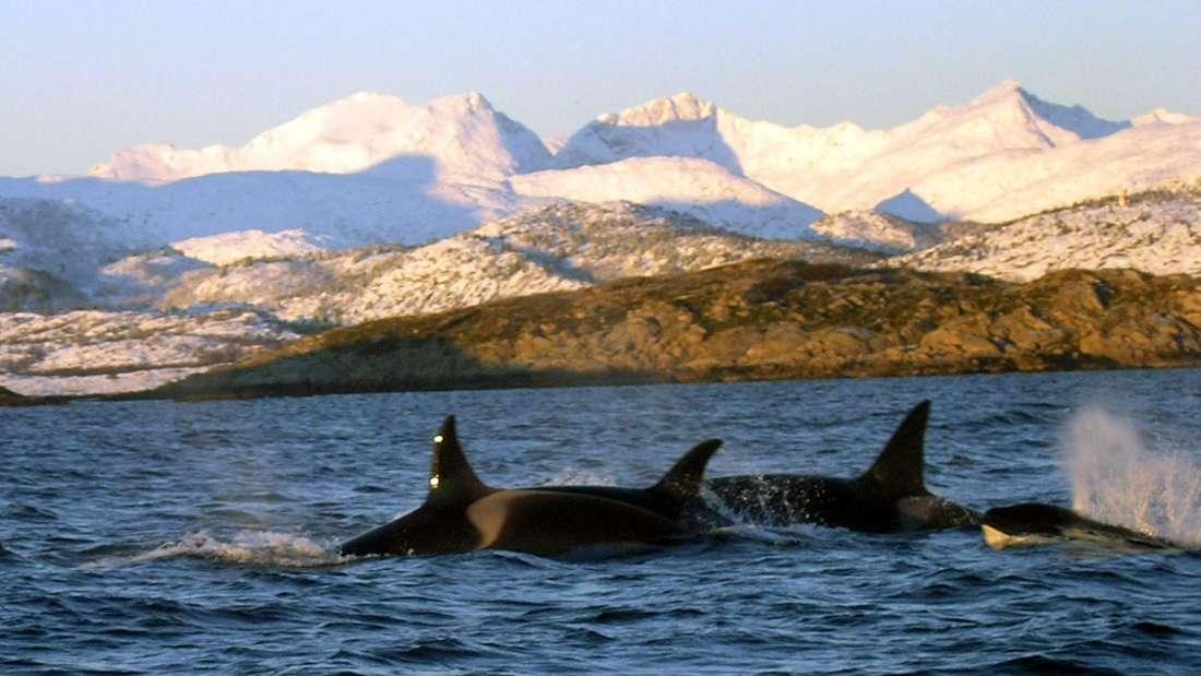 Mit Killerwalen schwimmen - nicht jedermanns Sache.