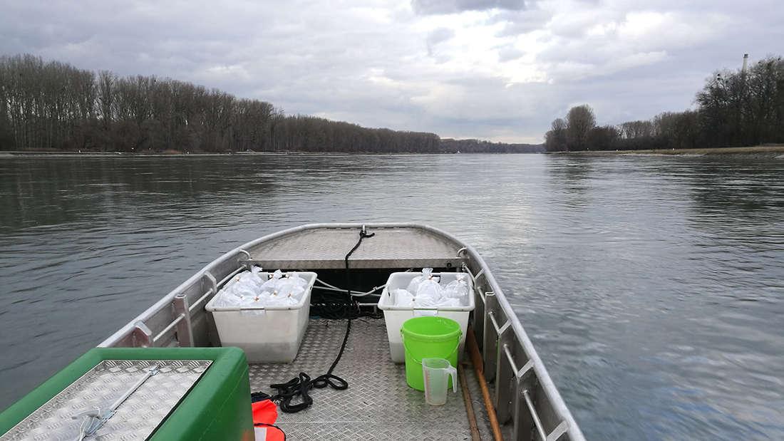 Die Glasaale auf dem Weg in neues Gewässer
