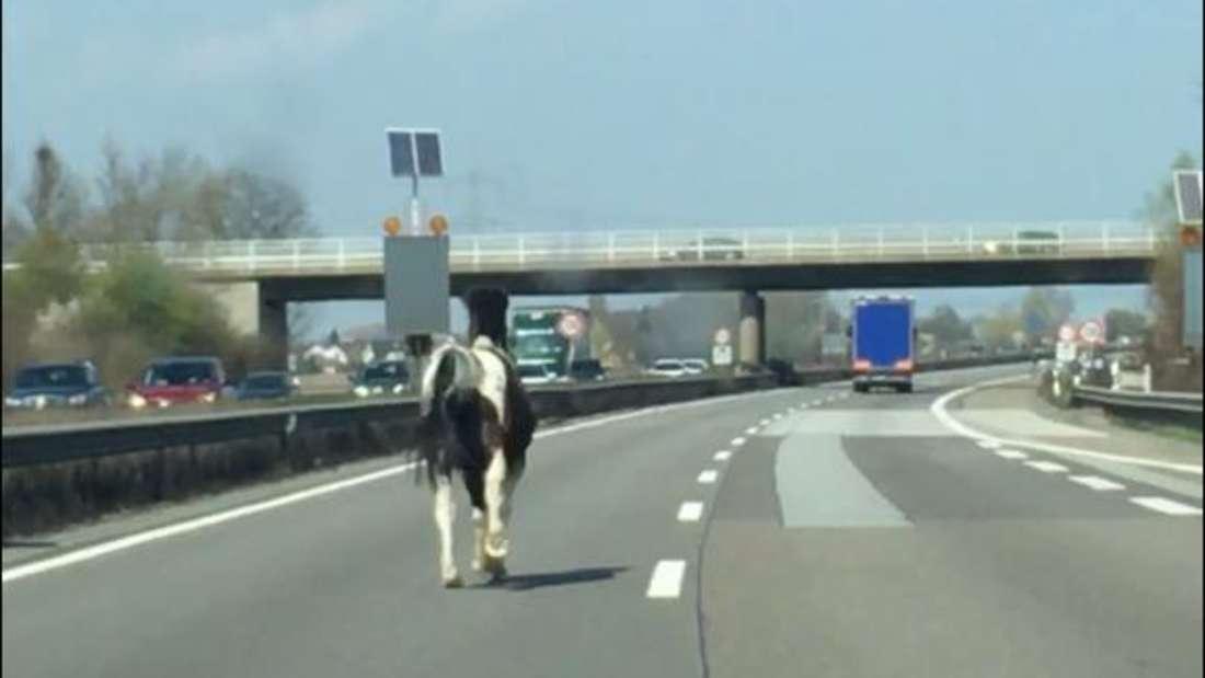 Das Pferd rennt auf der A61