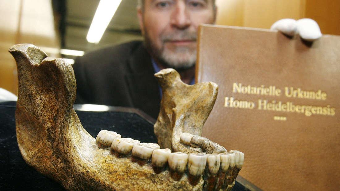 Das Fossil des Homo Heidelbergensis ist über 600.000 Jahre alt.