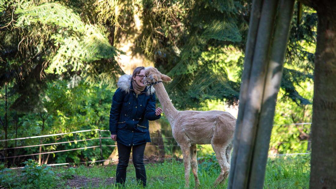 Auf Tuchfühlung:Die neue Alpaka-Mutter Melanie Weigl kommt dem zweieinhalb Jahre alten Gagamel richtig nah.