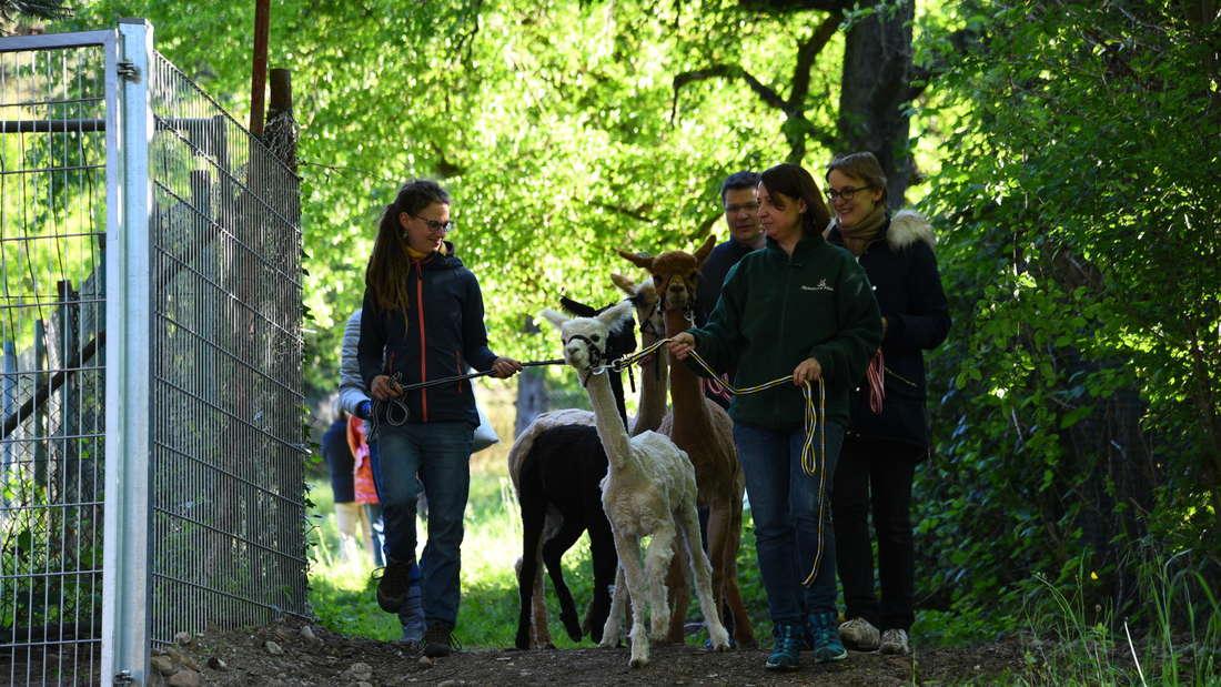 Die Alpakas kommen in Ziegelhausen an.