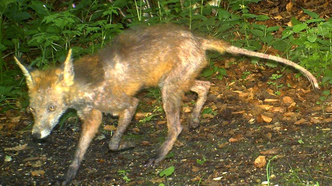 Ein Fuchs der an Räude erkrankt ist.