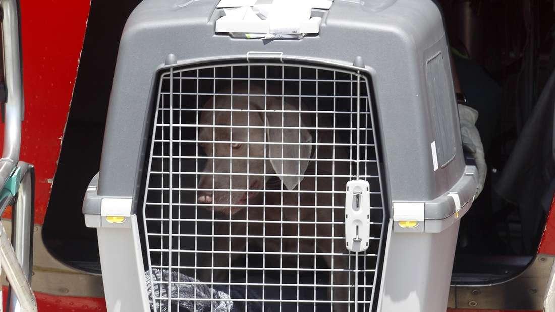 Hunde werden ab einem bestimmten Gewicht in einer Box im Gepäckraum des Flugzeugs transportiert. (Symbolbild)