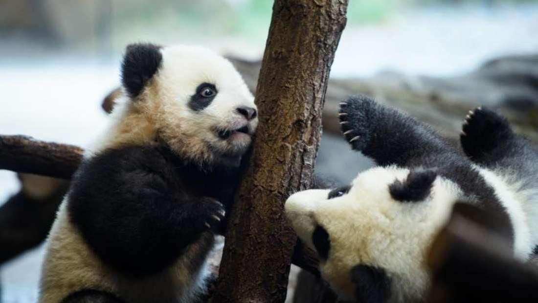 Erster Ausflug der Panda-Zwillinge Meng Xiang (l, Pit) und Meng Yuan (Paule). Foto: Gregor Fischer/dpa