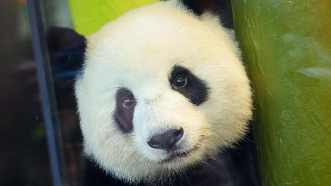 Panda-Mutter Meng Meng passt auf ihre Kleinen gut auf. Foto: Gregor Fischer/dpa