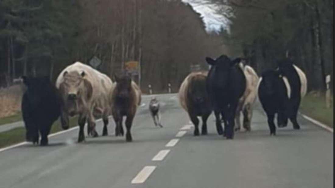 Mutmaßlicher Wolf versetzt Galloway-Rinder in Angst und Schrecken