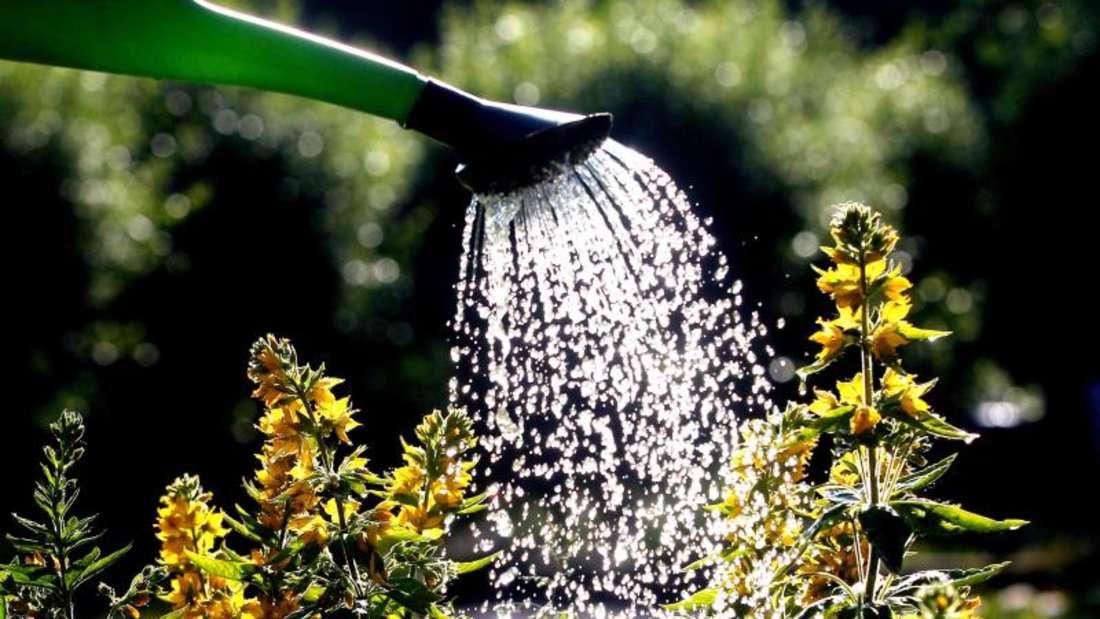 Wassertropfen auf Pflanzen sollen im Sommer wie Brenngläser wirken. Foto: Roland Weihrauch/dpa