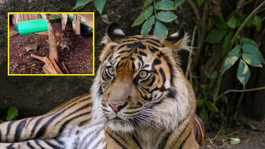 Zoo Heidelberg: Nachwuchs bei der Sumatra-Tigerin Karis.