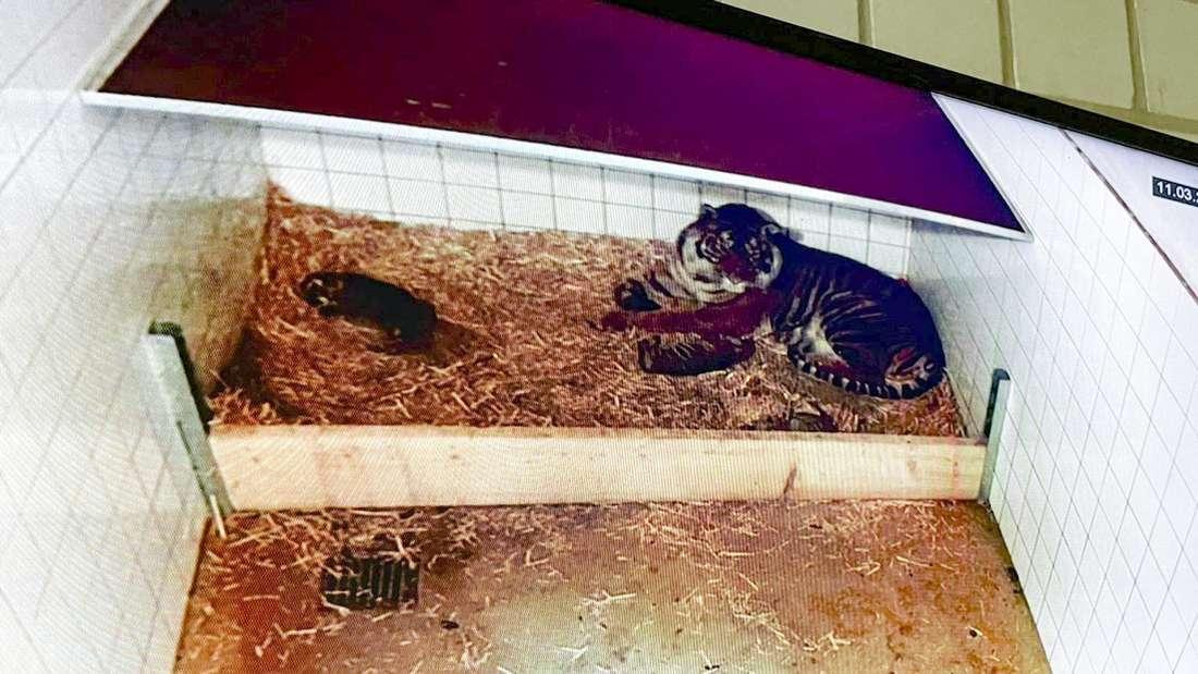 Zoo Heidelberg: Sumatra-Tigerin Karis mit ihren drei Jungen.