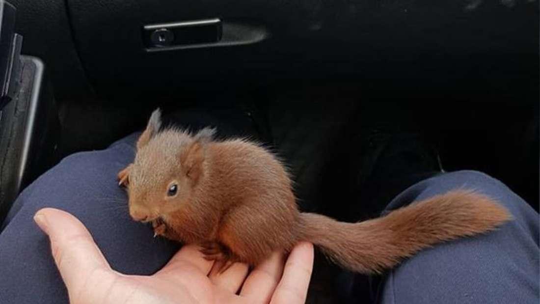 Das Eichhörnchen-Baby in den sicheren Händen des Gesetzes.