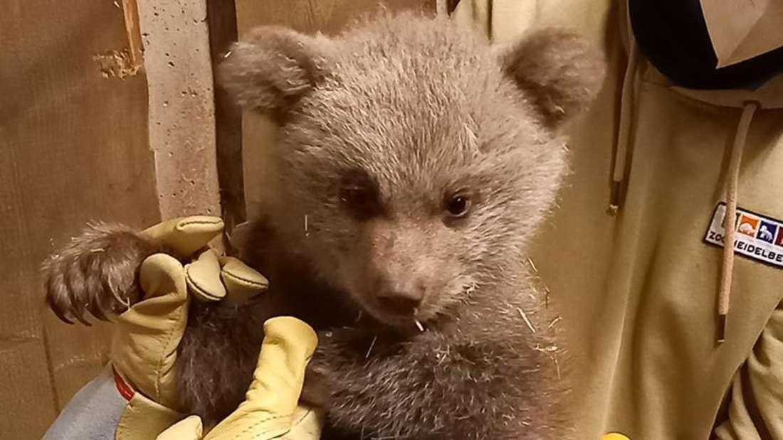 Die Syrische Braunbärin Ronja hat ein Bärenjunges zur Welt gebracht.