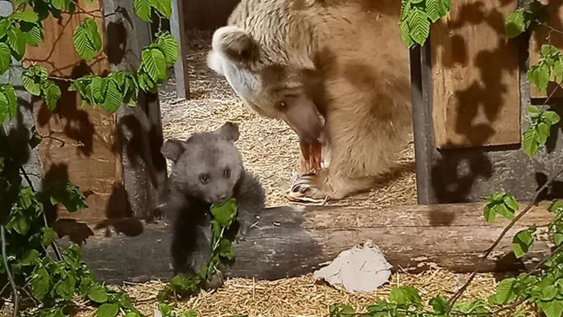 Der Bären-Nachwuchs und die Mutter fressen