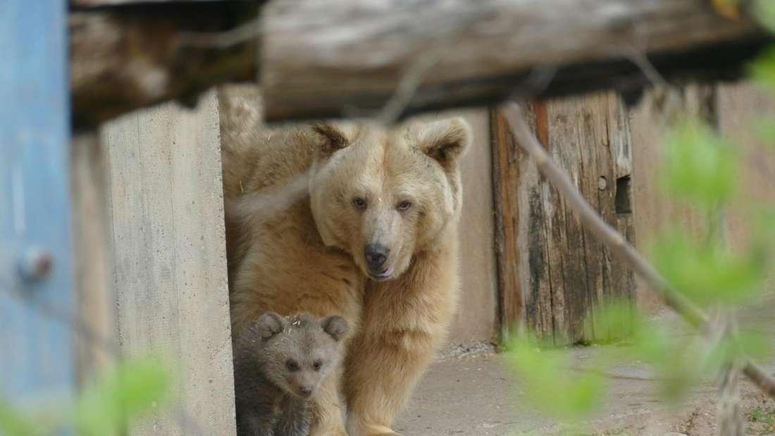 Syrische Braunbären im Zoo Heideberg: Bären-Mutter Ronja und ihre Tochter Merle zeigen sich gemeinsam auf der Außenanlage.