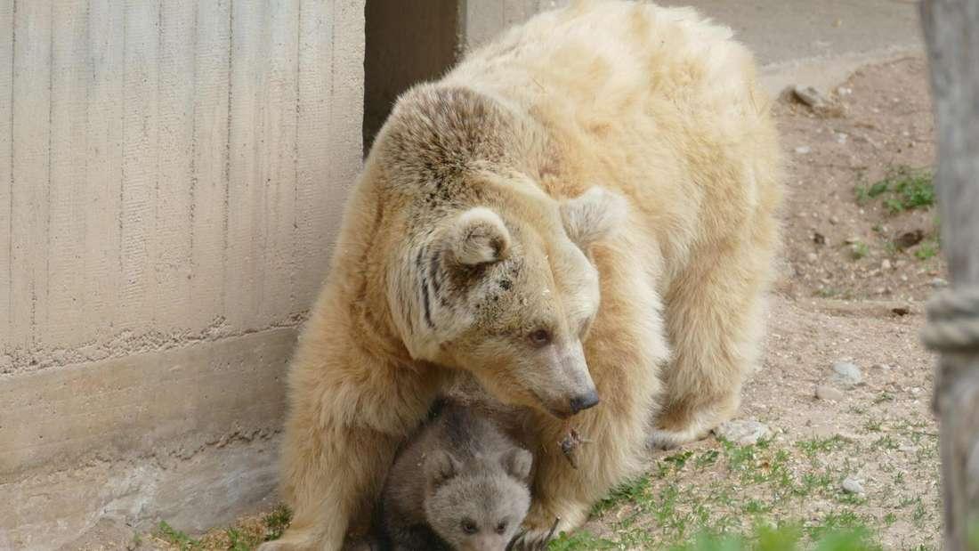 Bei den Ausflügen weicht Bären-Mutter Ronja der Kleinen nicht von der Seite (Foto: Zoo Heidelberg)