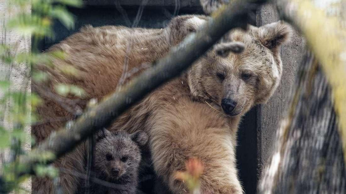 Foto 4: Beide Bärinnen beobachten die Umgebung genau (Foto: K.W./Zoo Heidelberg)