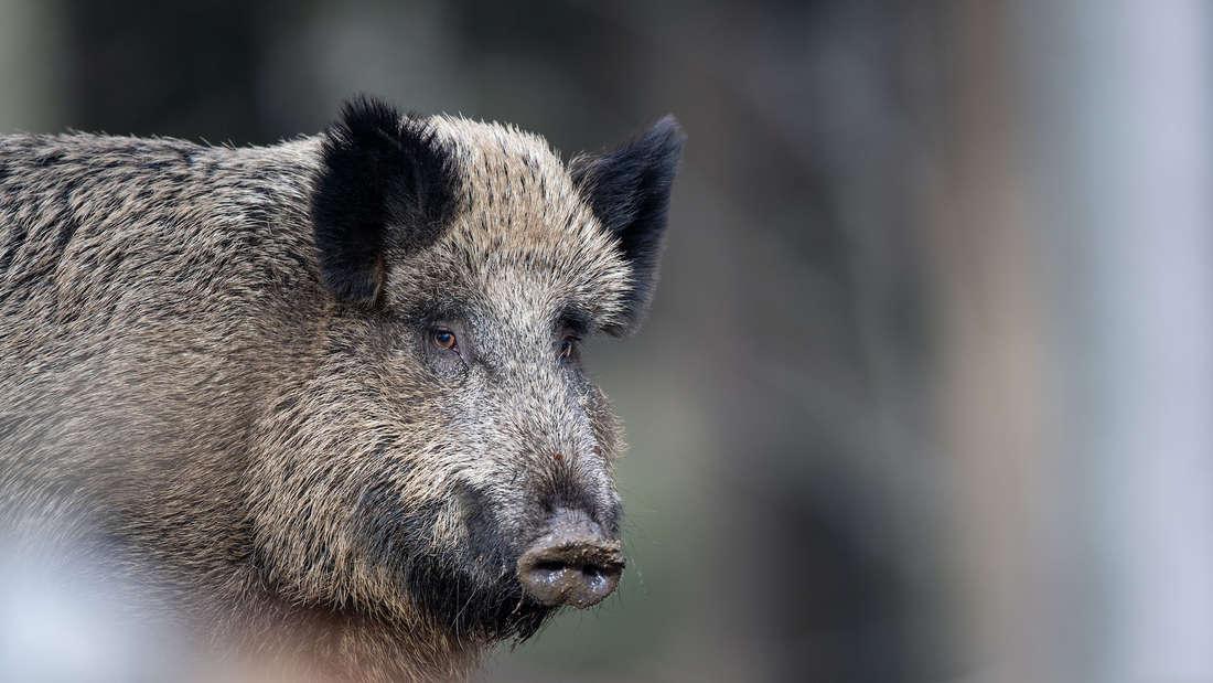 Ein Wildschwein