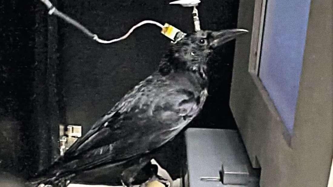 Eine Krähe steht festgeschnallt vor einem Touchschreen.