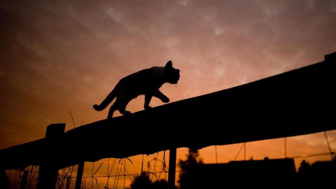 Katzen lieben es, bei Sonnenauf- oder untergang draußen eine Runde zu drehen. Foto: Julian Stratenschulte
