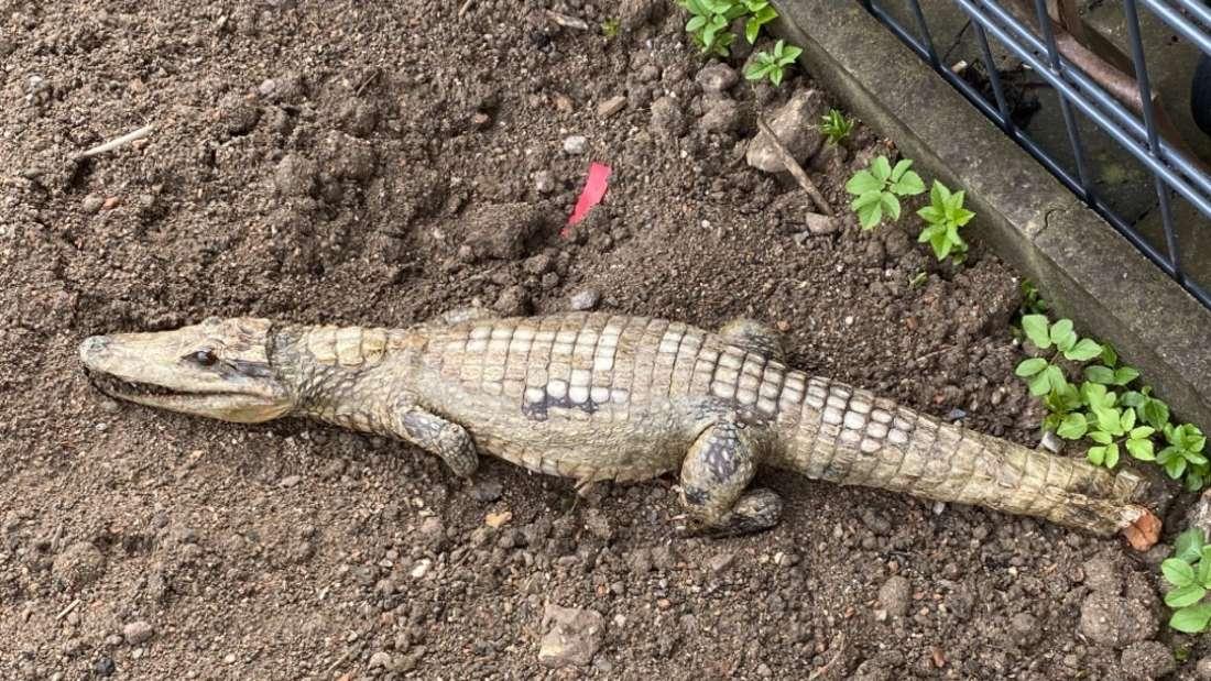 Spaziergänger findet totes Krokodil in Baugrube