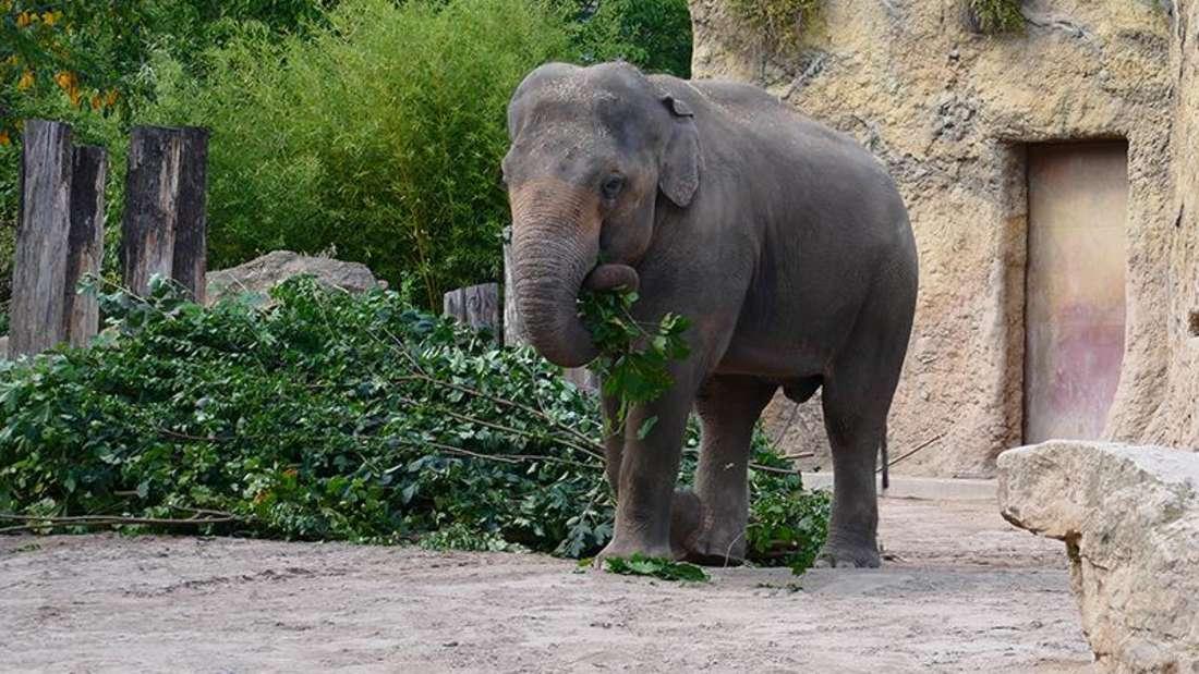 Elefant Namsai ist pünktlich und wohlbehalten am 11. Mai 2021 im Heidelberger Zoo angekommen.