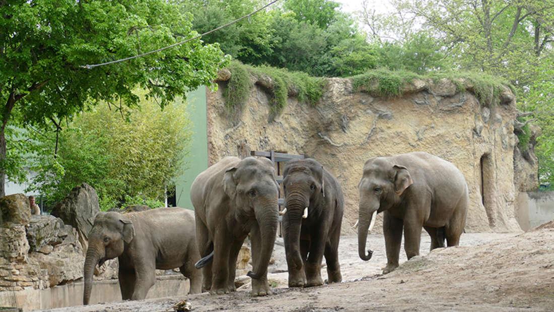 Das Elefanten-Quartett im Zoo Heidelberg ist komplett.
