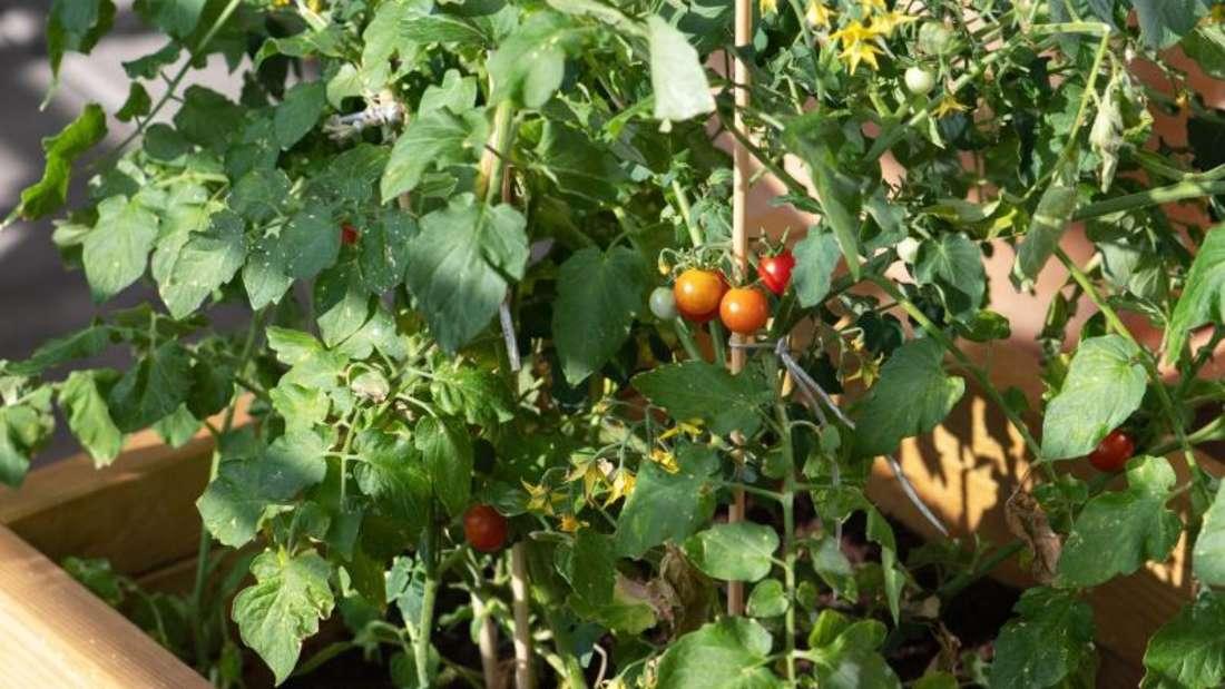 Tomatenpflanzen entwickeln sich auf dem Balkon oft besser als im Garten. Foto: Andrea Warnecke/dpa-tmn