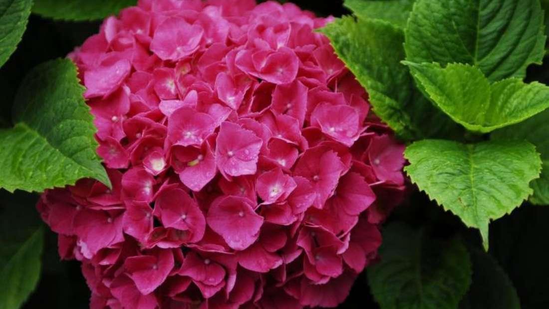Die teils dicken, kugeligen Blüten der Hortensien sind ein Hingucker, wie kaum eine andere Pflanze im Garten sie zeigen kann.