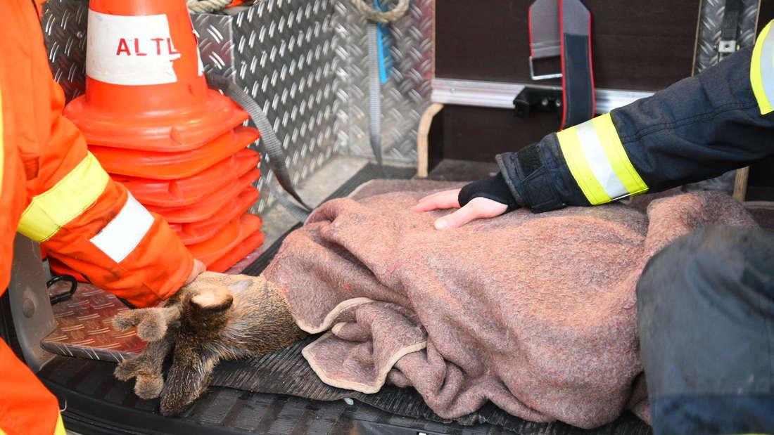 Das erschöpfte Reh wird mit Decken gewärmt. Es war bei Altlußheim nicht mehr aus den Hochwasserfluten gekommen.