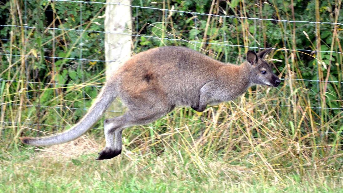 Ein Känguru hüpft auf der Wiese.