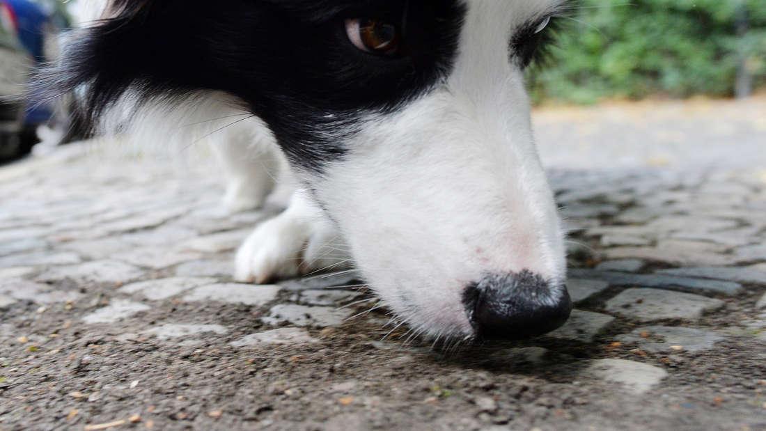 Ein Hund schnüffelt am Boden.