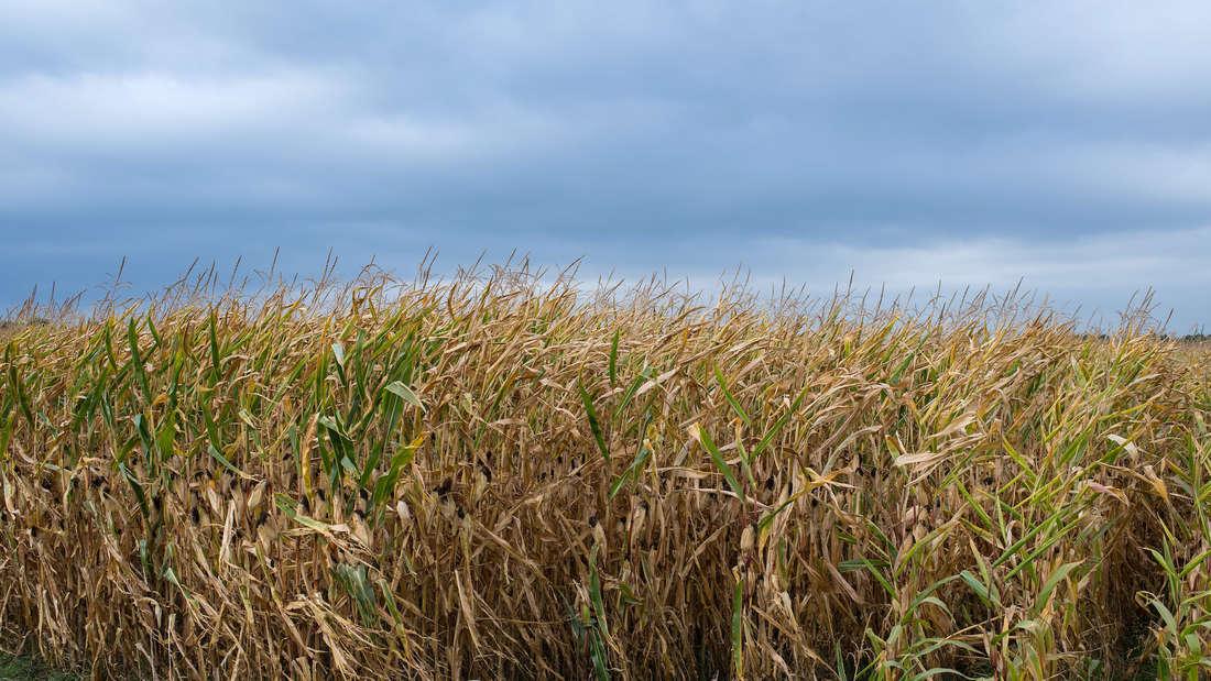 Ein Maisfeld.