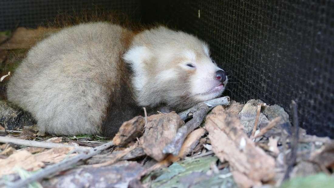 Roter Panda-Nachwuchs: Erste Jungtier, das in Heidelberg zur Welt kam (3. September 2021).
