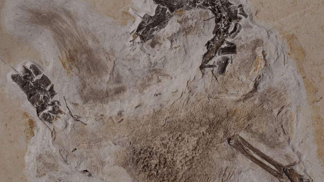 Fossil des Sauriers Ubirajara